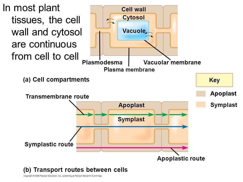 In most plant tissues, the cell wall and cytosol are continuous from cell to cell