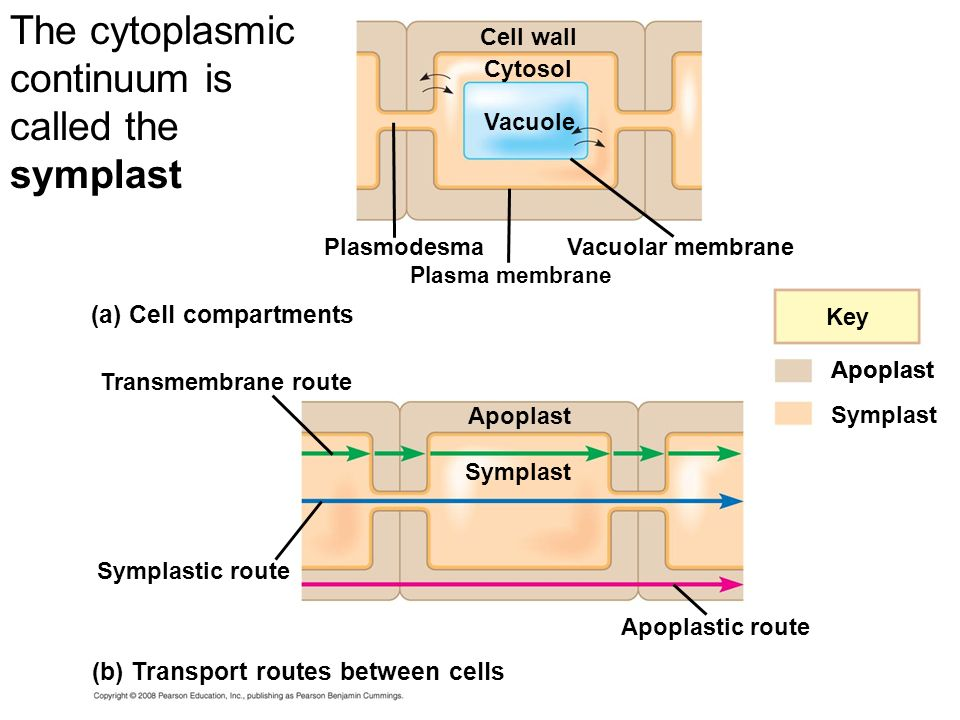 The cytoplasmic continuum is called the symplast