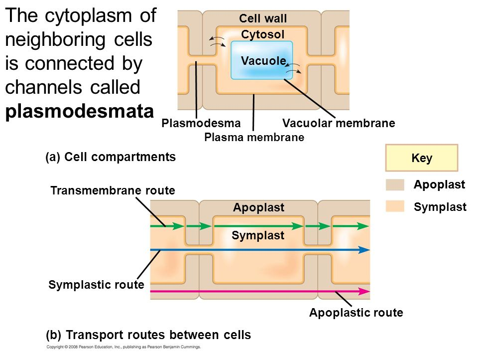 The cytoplasm of neighboring cells is connected by channels called plasmodesmata
