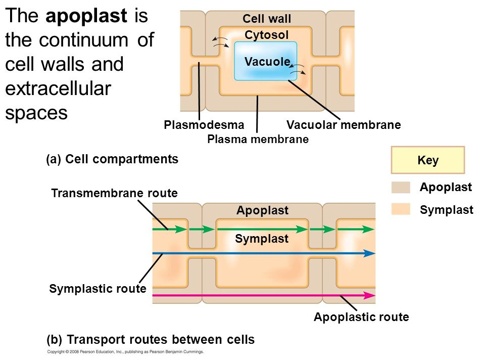 The apoplast is the continuum of cell walls and extracellular spaces