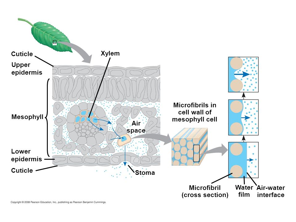 Microfibrils in cell wall of mesophyll cell