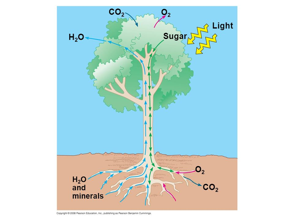 CO2 O2 Light H2O Sugar O2 H2O and minerals CO2