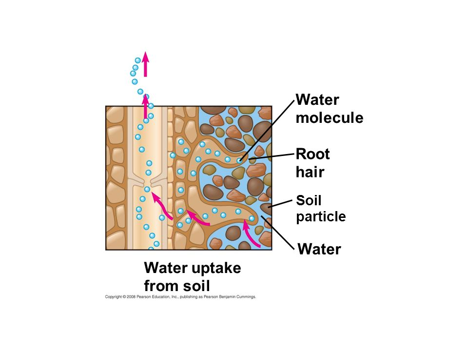 Water molecule Root hair Soil particle Water Water uptake from soil