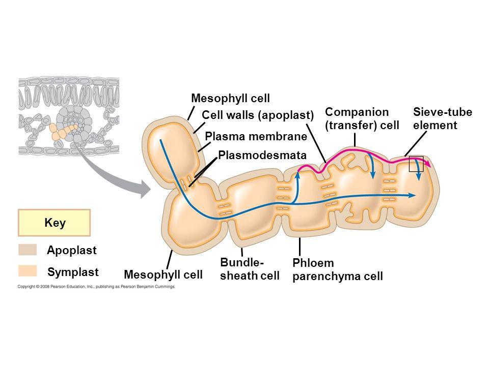 Mesophyll cell Cell walls (apoplast) Companion (transfer) cell. Sieve-tube element. Plasma membrane.