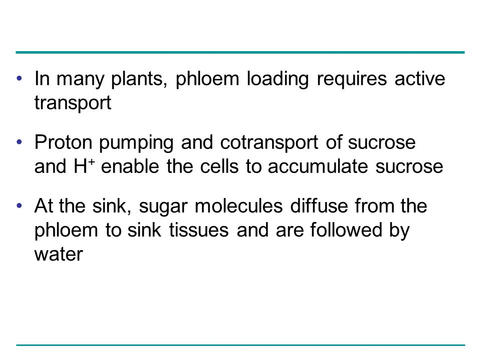 In many plants, phloem loading requires active transport