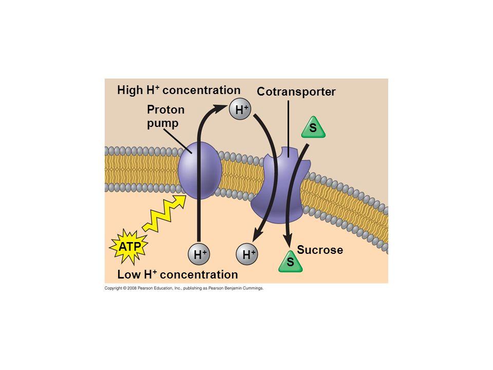 High H+ concentration Cotransporter Proton pump H+ S ATP Sucrose H+ H+ S Low H+ concentration