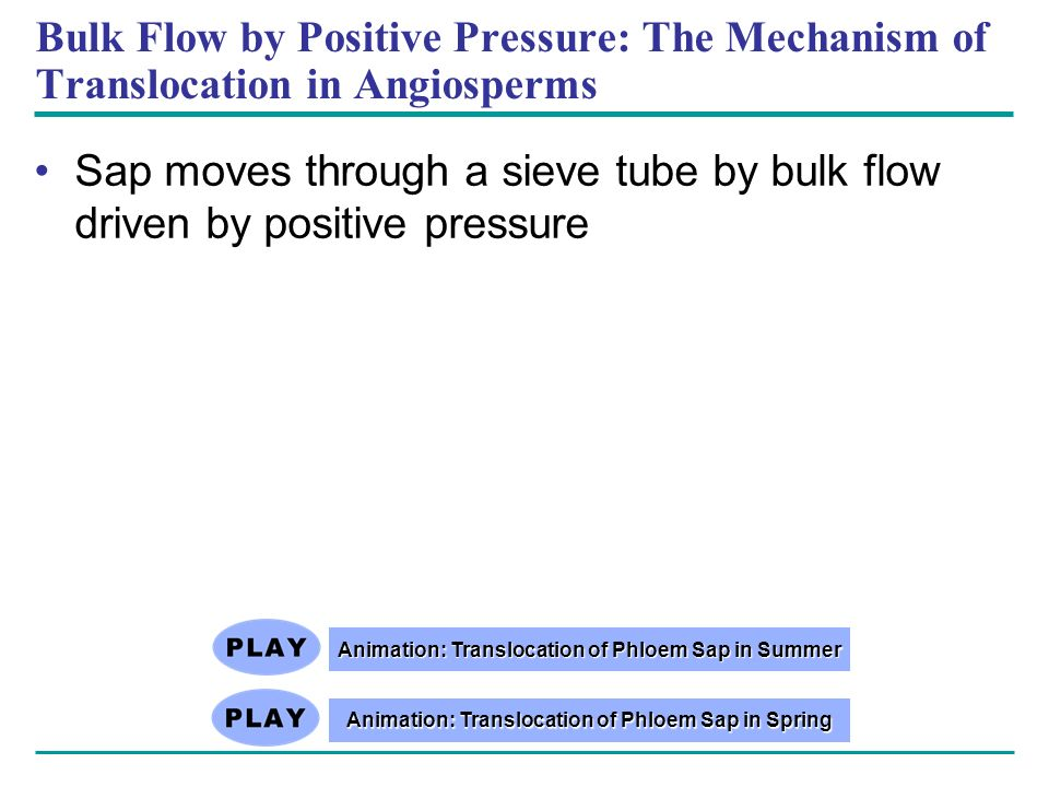 Bulk Flow by Positive Pressure: The Mechanism of Translocation in Angiosperms