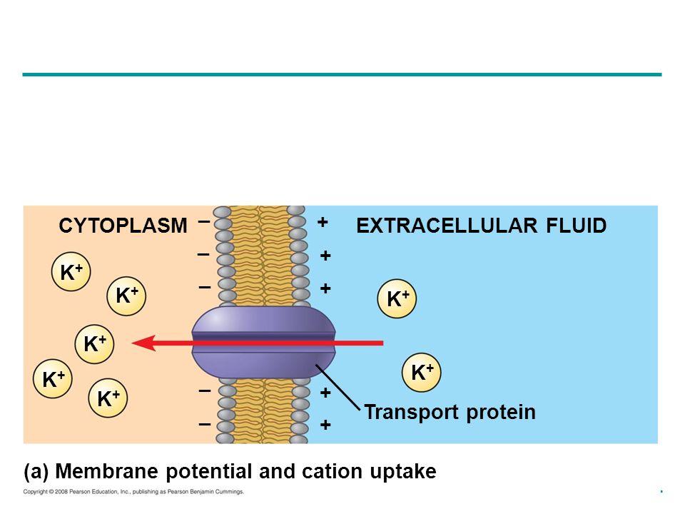 _ CYTOPLASM. + EXTRACELLULAR FLUID. _. + K+ _. + K+ K+ K+ K+ K+ _. + K+ _. Transport protein.