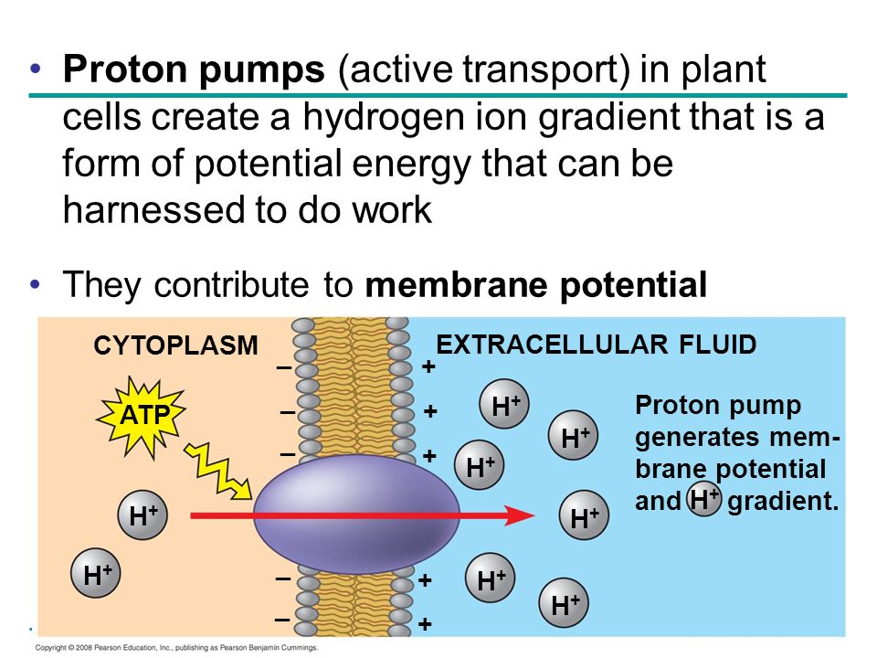 Proton pumps (active transport) in plant cells create a hydrogen ion gradient that is a form of potential energy that can be harnessed to do work