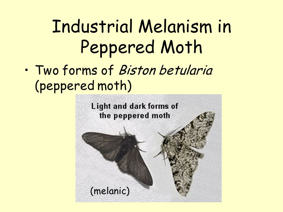 Industrial Melanism in Peppered Moth