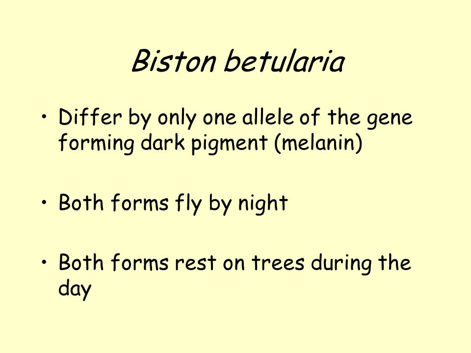 Biston betularia Differ by only one allele of the gene forming dark pigment (melanin) Both forms fly by night.