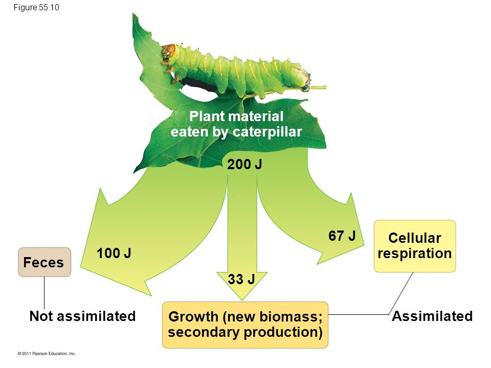Plant material eaten by caterpillar