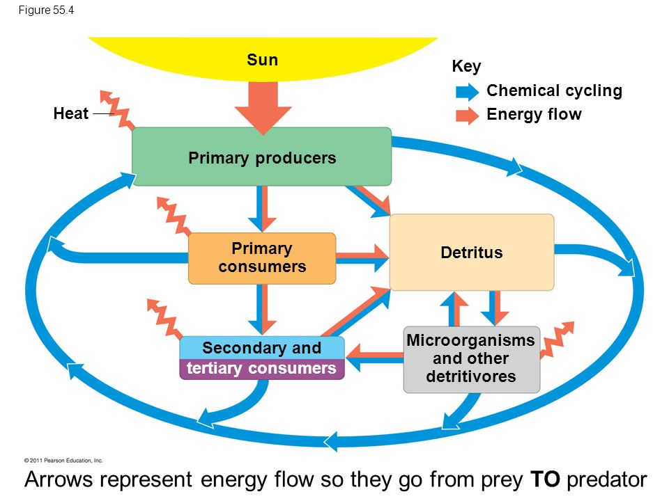 Microorganisms and other detritivores Secondary and tertiary consumers