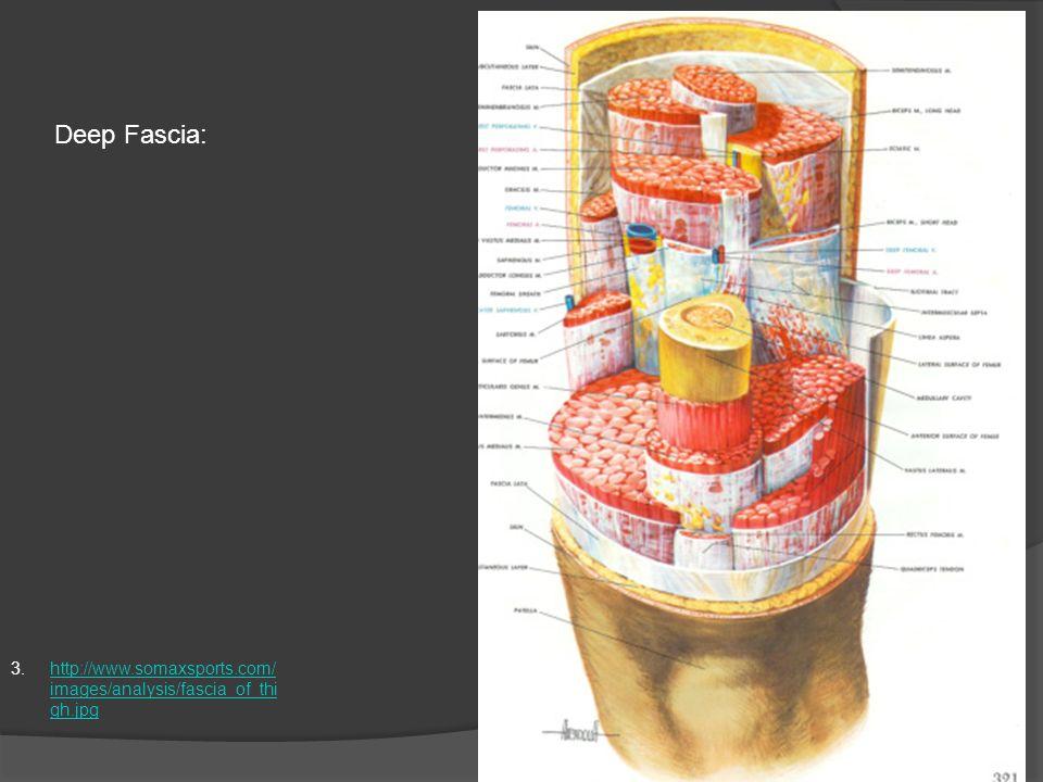 Deep Fascia: http://www.somaxsports.com/images/analysis/fascia_of_thigh.jpg
