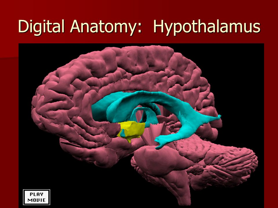 Digital Anatomy: Hypothalamus