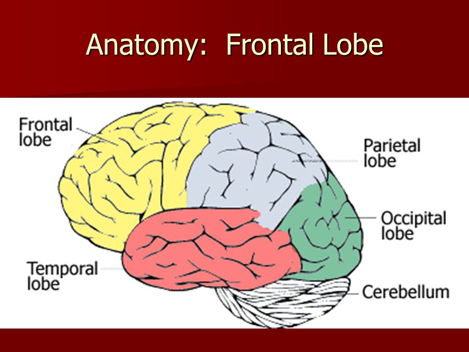Anatomy: Frontal Lobe