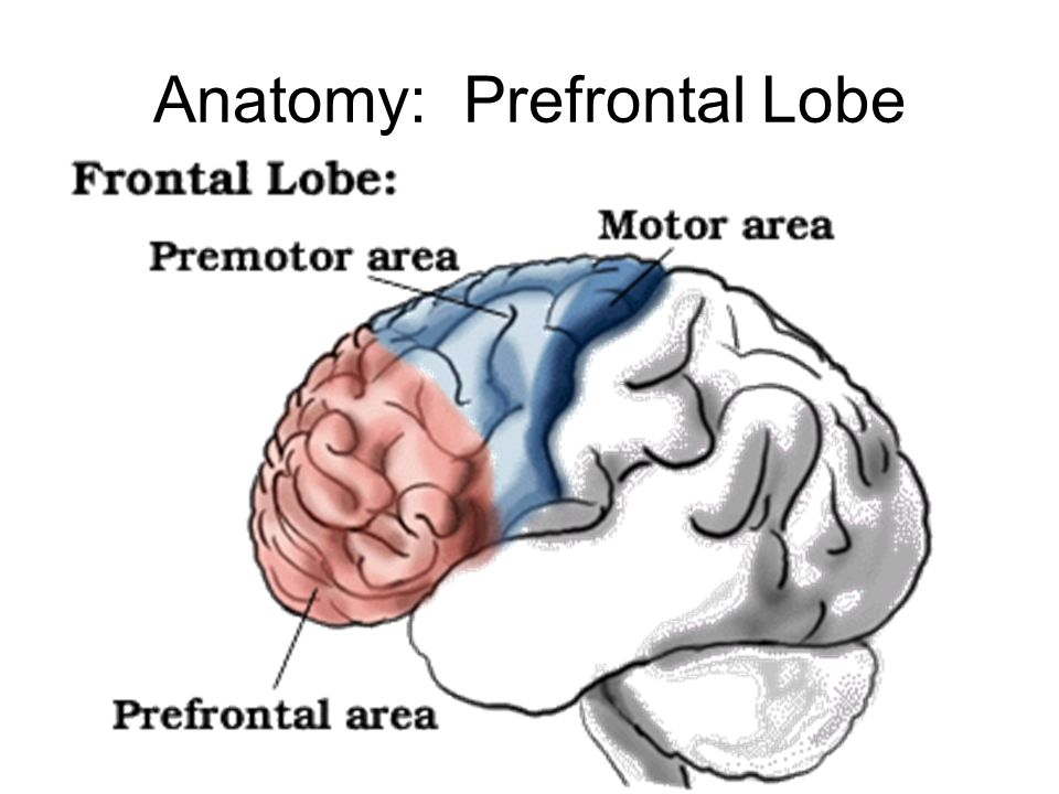Anatomy: Prefrontal Lobe