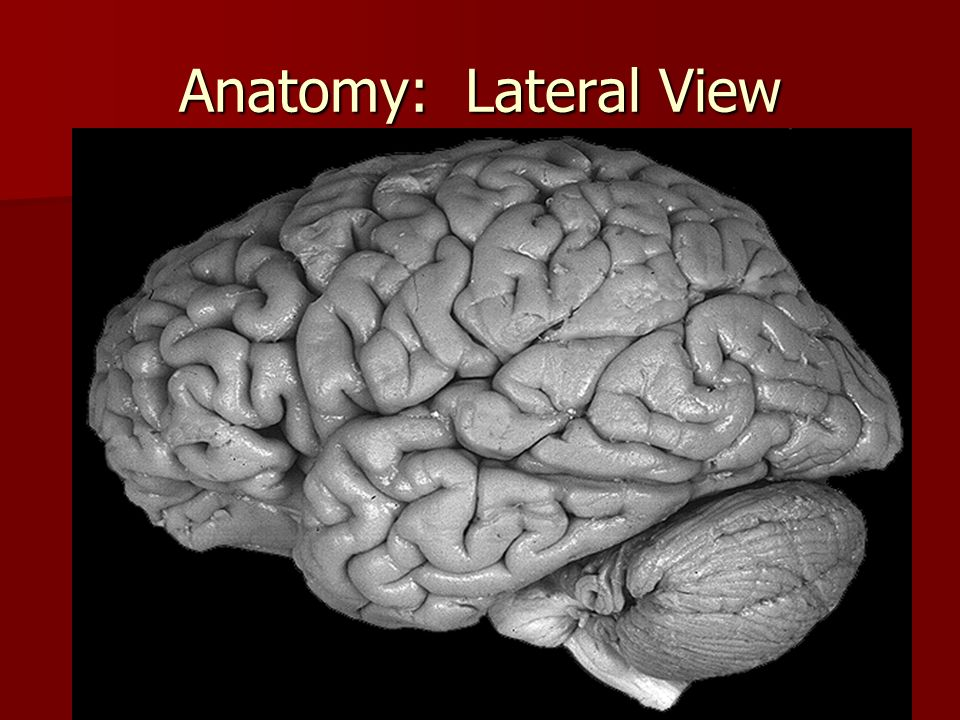 Anatomy: Lateral View