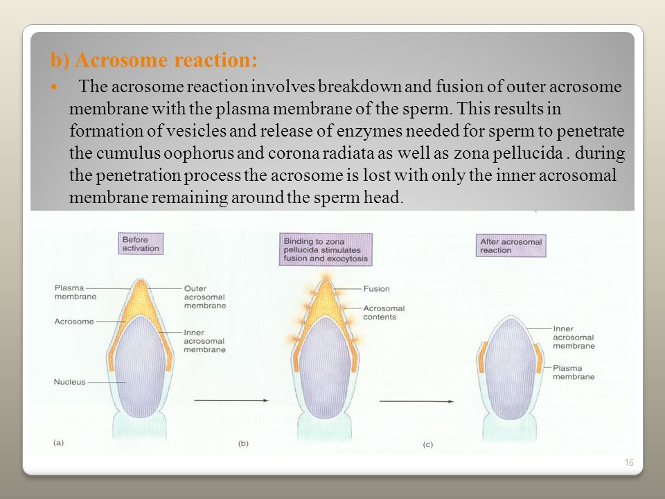 b) Acrosome reaction: