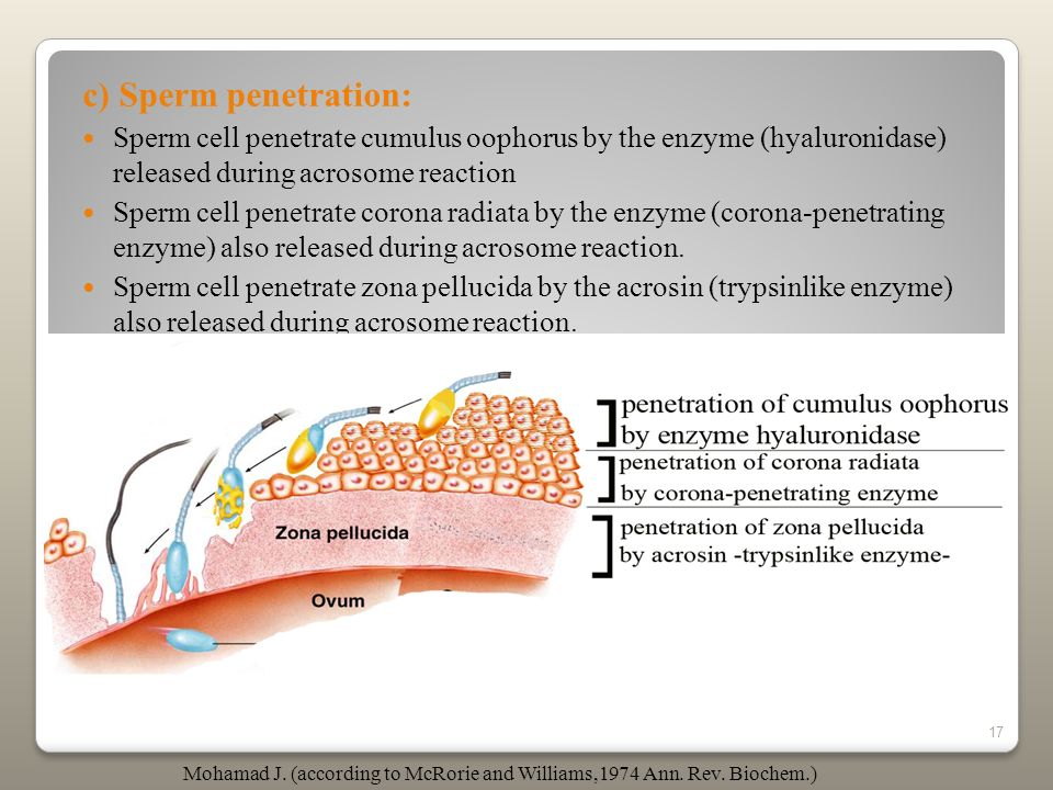 c) Sperm penetration: Sperm cell penetrate cumulus oophorus by the enzyme (hyaluronidase) released during acrosome reaction.