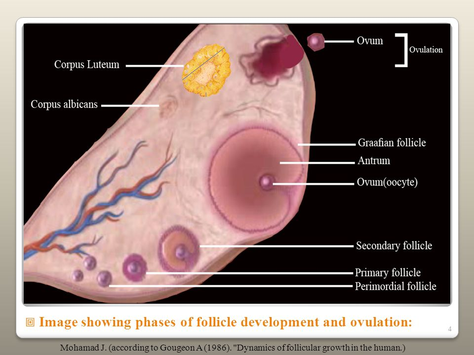 Image showing phases of follicle development and ovulation: