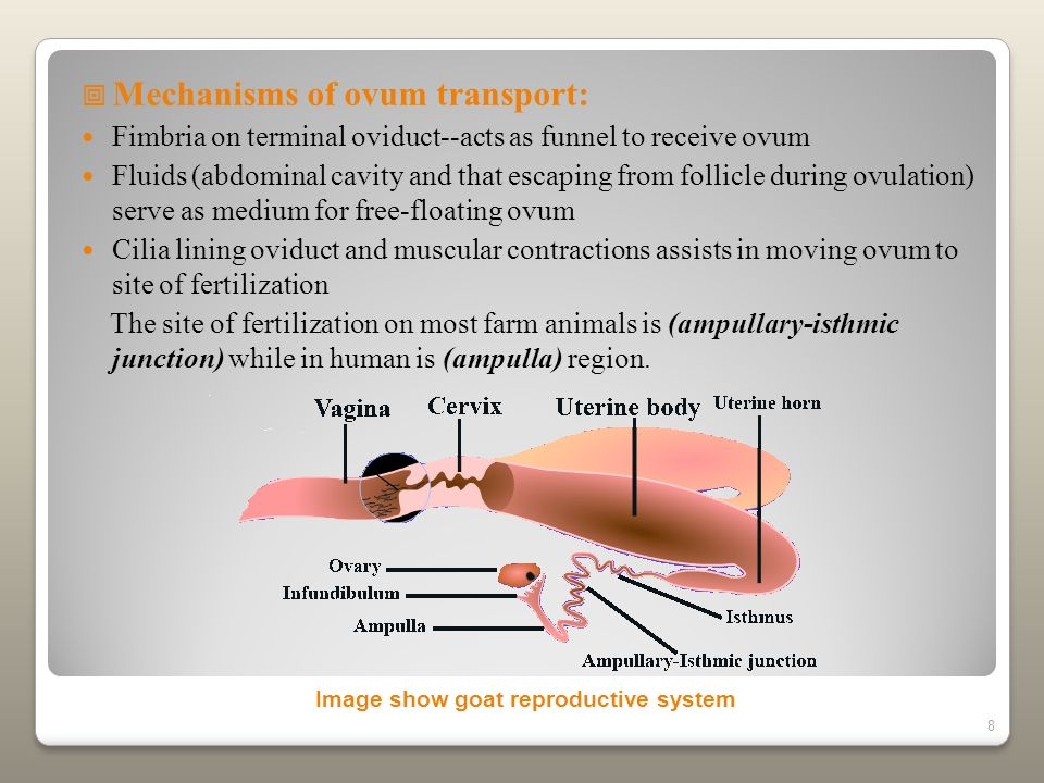 Mechanisms of ovum transport: