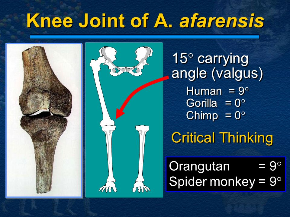 Knee Joint of A. afarensis
