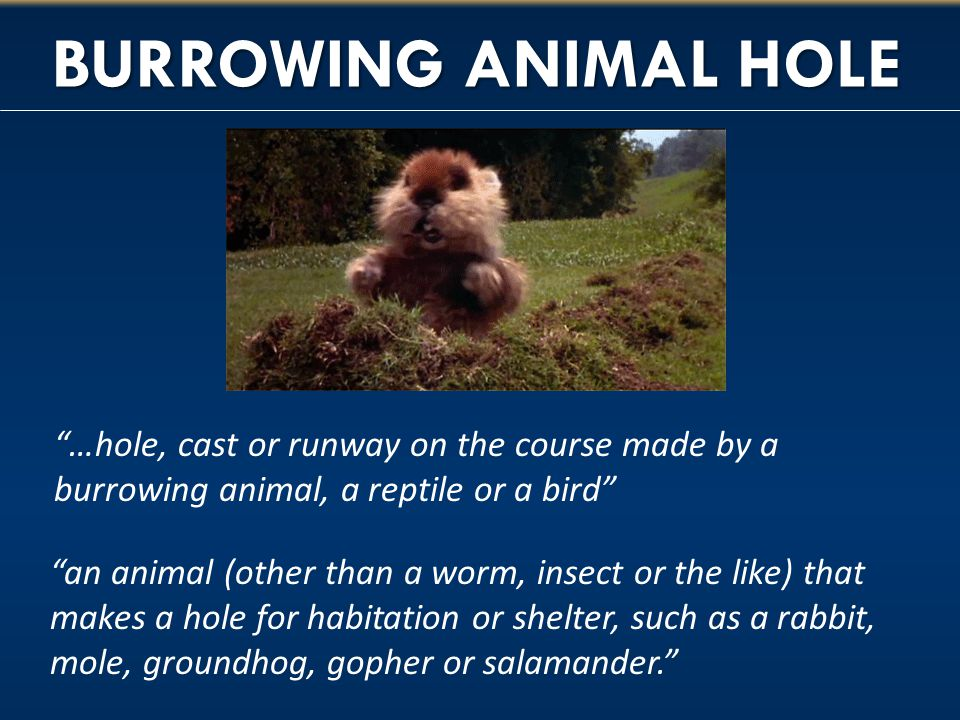 BURROWING ANIMAL HOLE …hole, cast or runway on the course made by a burrowing animal, a reptile or a bird