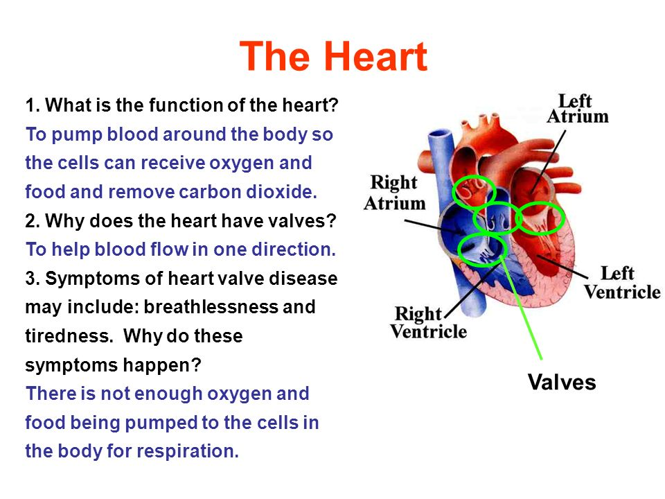 The Heart Valves 1. What is the function of the heart