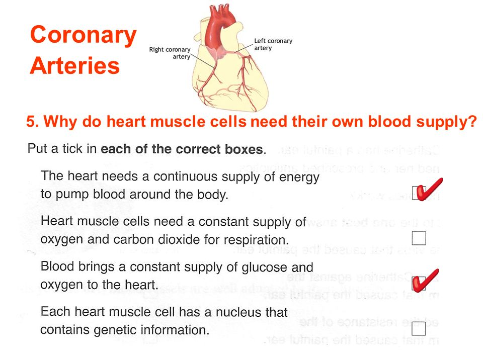Coronary Arteries 5. Why do heart muscle cells need their own blood supply