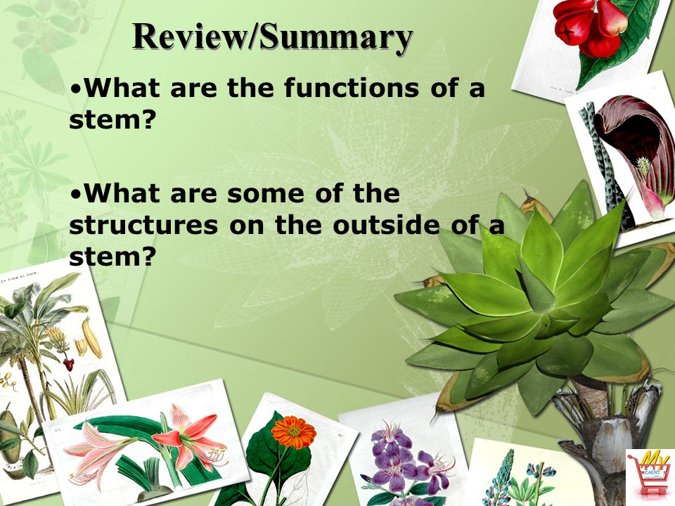 Review/Summary What are the functions of a stem