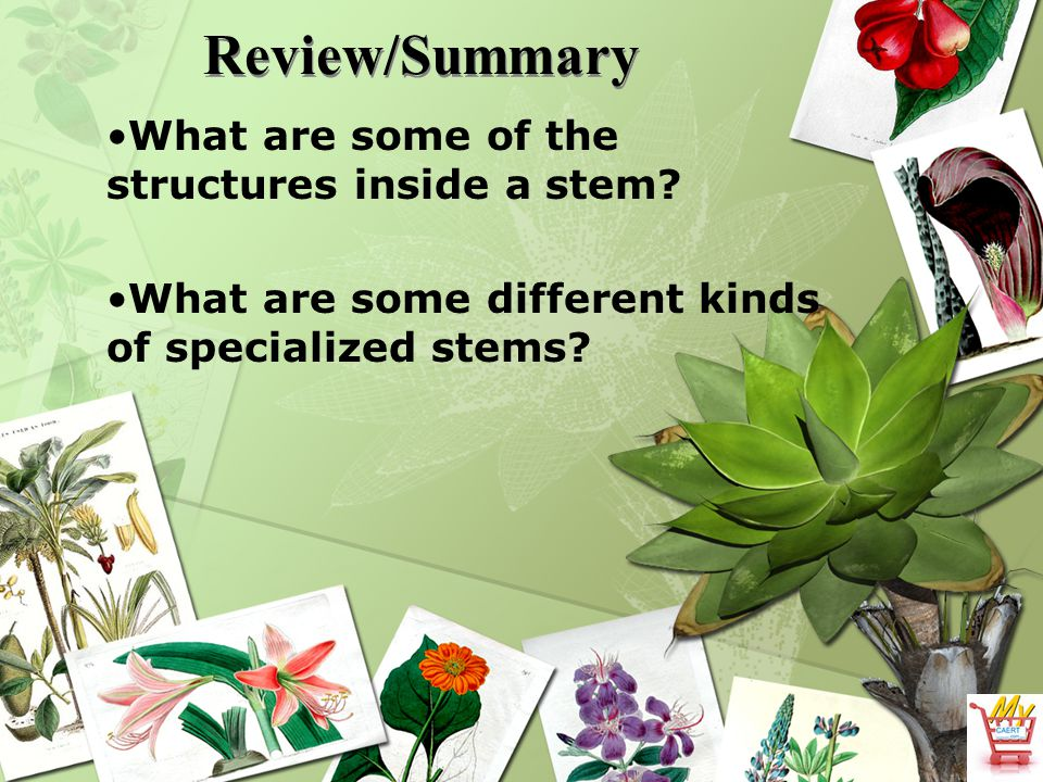Review/Summary What are some of the structures inside a stem