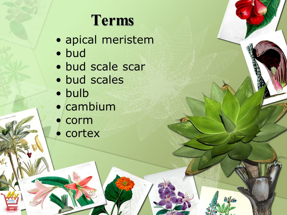 Terms apical meristem bud bud scale scar bud scales bulb cambium corm
