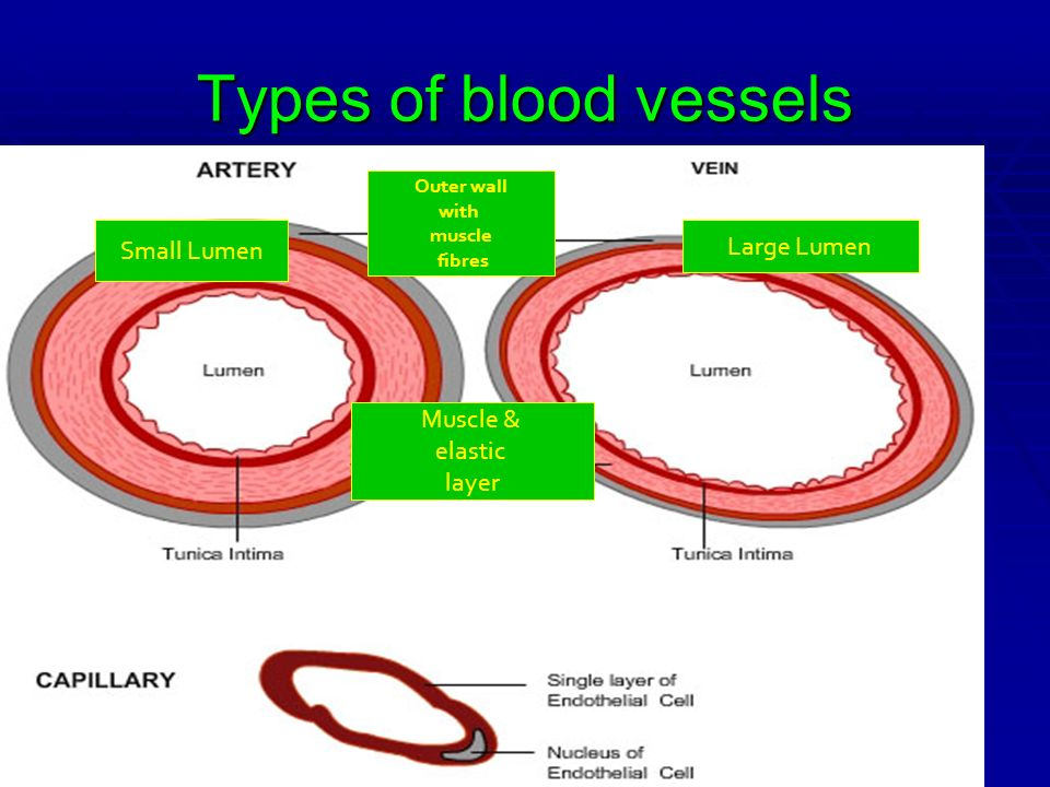 Types of blood vessels Small Lumen Large Lumen Muscle & elastic layer