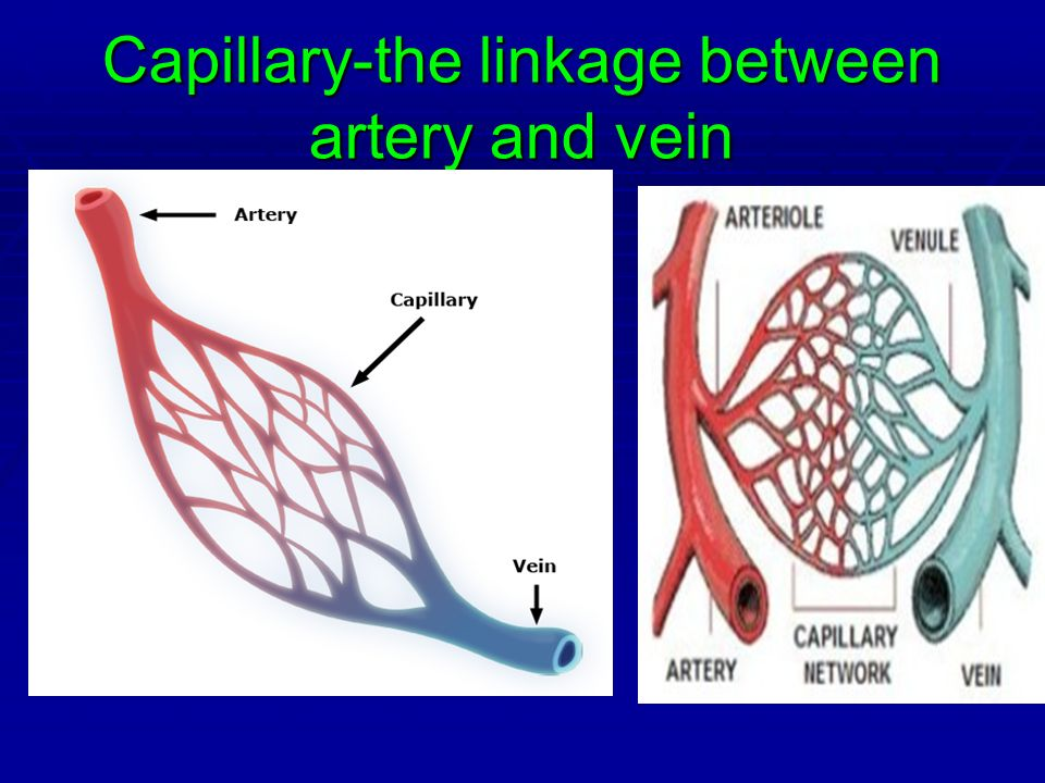 Capillary-the linkage between artery and vein