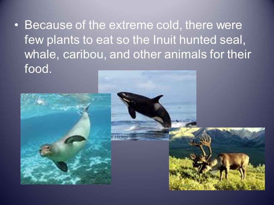 Because of the extreme cold, there were few plants to eat so the Inuit hunted seal, whale, caribou, and other animals for their food.
