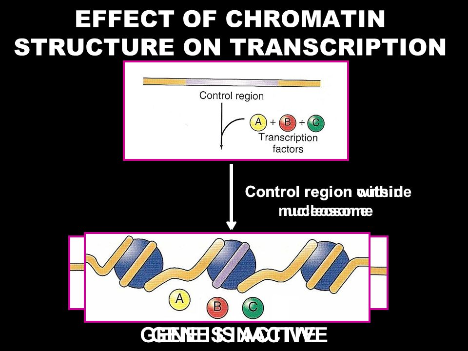 EFFECT OF CHROMATIN STRUCTURE ON TRANSCRIPTION
