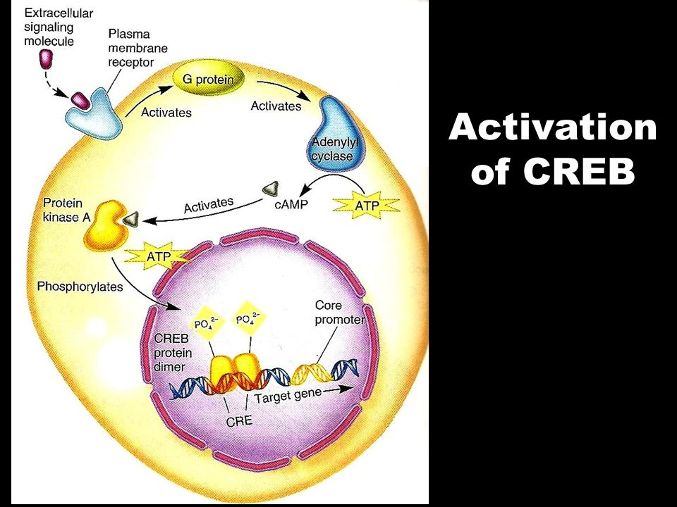 Activation of CREB
