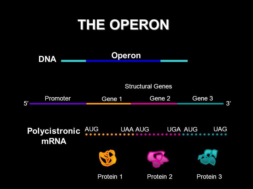 THE OPERON Operon DNA Polycistronic mRNA Promoter Gene 1 Gene 2 Gene 3
