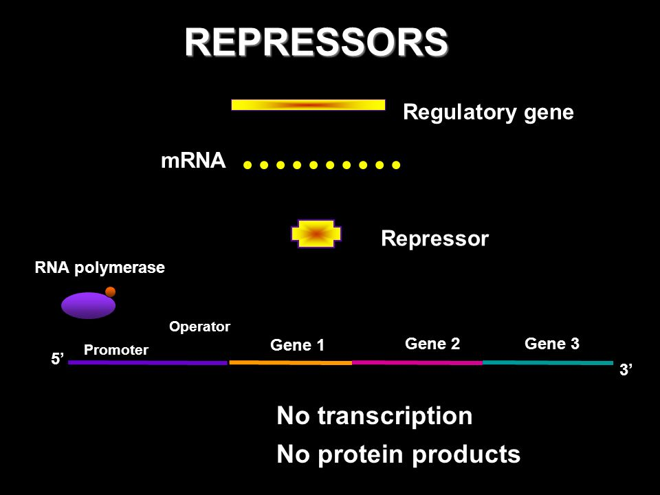 REPRESSORS No transcription No protein products Regulatory gene mRNA