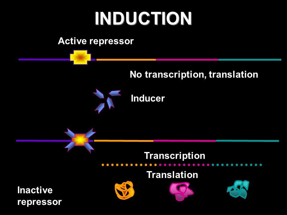 INDUCTION Active repressor No transcription, translation Inducer