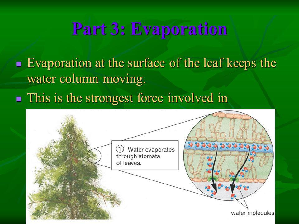 Part 3: Evaporation Evaporation at the surface of the leaf keeps the water column moving.