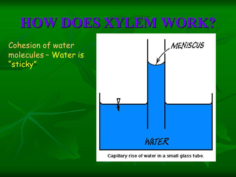 HOW DOES XYLEM WORK Cohesion of water molecules – Water is sticky