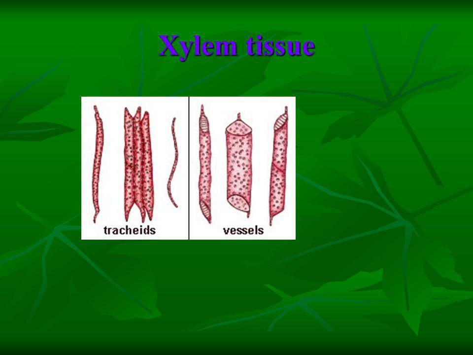 Xylem tissue