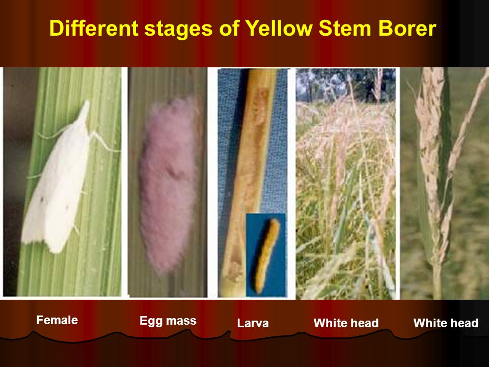 Different stages of Yellow Stem Borer