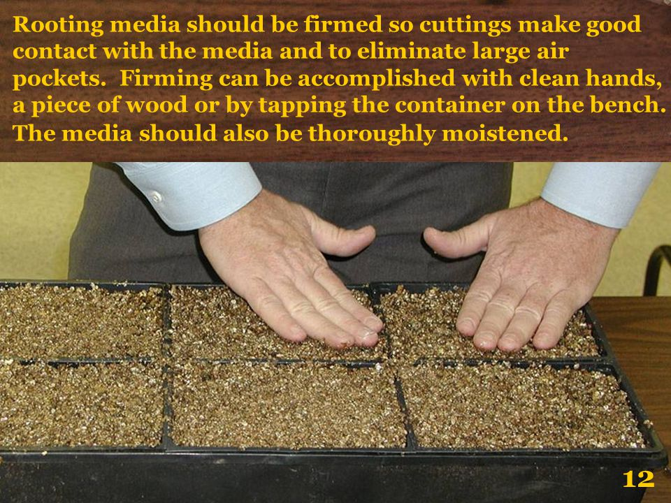 Rooting media should be firmed so cuttings make good contact with the media and to eliminate large air pockets. Firming can be accomplished with clean hands, a piece of wood or by tapping the container on the bench. The media should also be thoroughly moistened.
