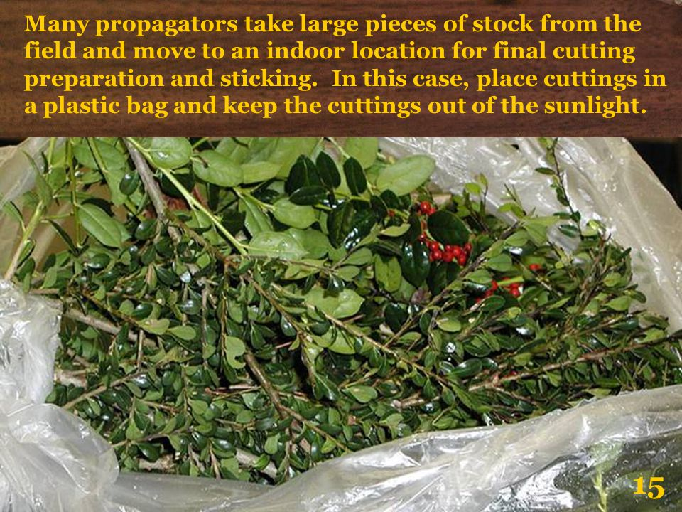 Many propagators take large pieces of stock from the field and move to an indoor location for final cutting preparation and sticking. In this case, place cuttings in a plastic bag and keep the cuttings out of the sunlight.