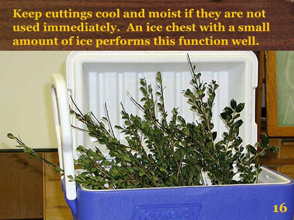 Keep cuttings cool and moist if they are not used immediately