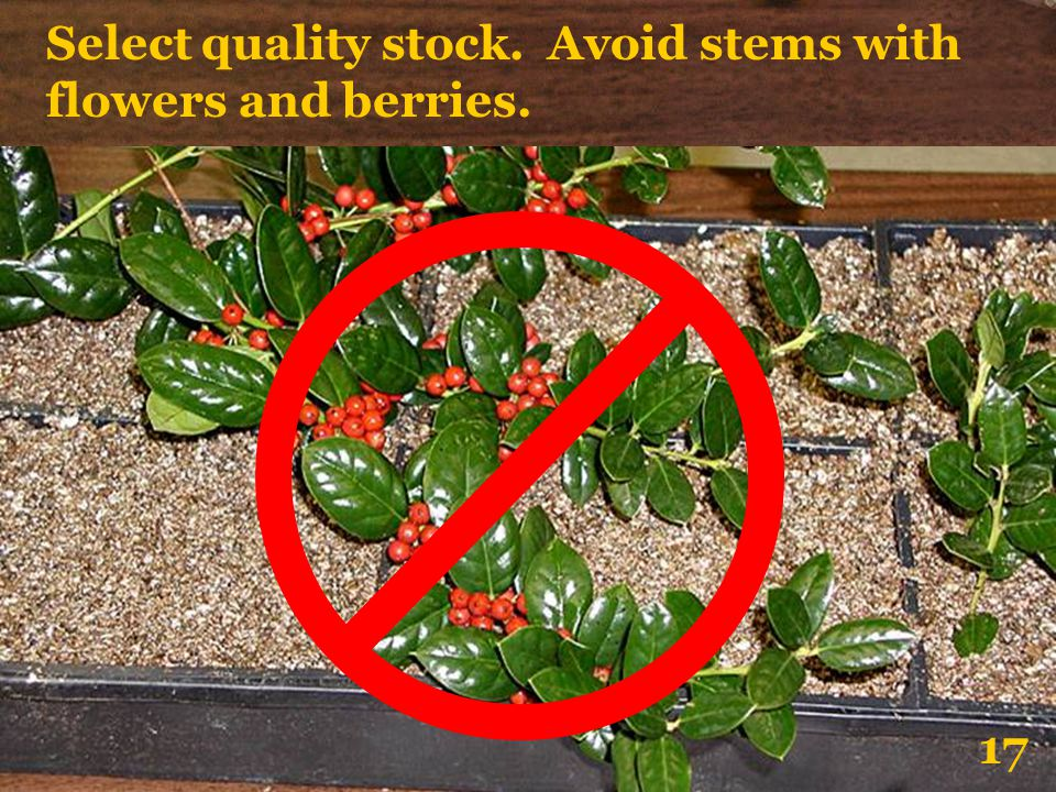 Select quality stock. Avoid stems with flowers and berries.