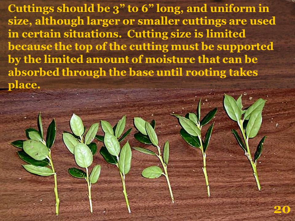 Cuttings should be 3 to 6 long, and uniform in size, although larger or smaller cuttings are used in certain situations. Cutting size is limited because the top of the cutting must be supported by the limited amount of moisture that can be absorbed through the base until rooting takes place.